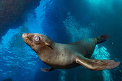 Puppy sea lion underwater looking at you Stock Photo
