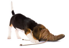 Puppy searching Royalty Free Stock Photo