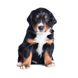 Puppy sennenhund, 1 months, isolated on white Stock Photography