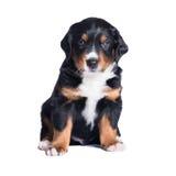 Puppy sennenhund, 1 months, isolated on white Stock Photography