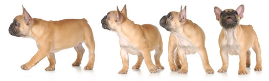 Puppy series Stock Photo