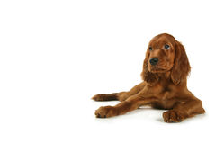 Puppy setter Stock Image