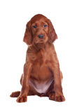 Puppy setter Stock Images
