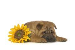Puppy shar-Pei Stock Afbeeldingen