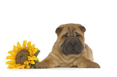Puppy shar-Pei Stock Foto's