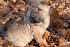 Puppy shar-pei is sitting on the autumn foliage. stock image