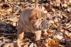 Puppy shar pei is standing on the autumn foliage. . Royalty Free Stock Photo