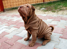 Puppy sharpei. Baby sharpei, age 2 months old, chocolate boy Royalty Free Stock Images