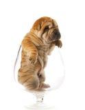 puppy sharpei Fotografering för Bildbyråer