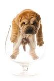 puppy sharpei Стоковая Фотография RF