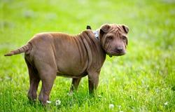 puppy sharpei Στοκ Εικόνα
