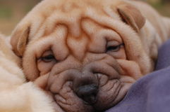Puppy sharpei face. Baby sharpei, age 2 months old, cream girl Stock Images