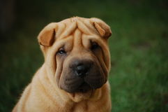 Puppy sharpei's portrait 6. Puppy sharpei, age 5 weeks old, fawn girl Royalty Free Stock Images