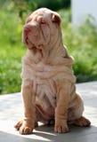 Puppy sharpei sitting Stock Photo