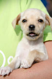 Puppy in shelter volunteer's arm Stock Photography