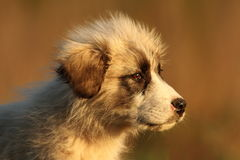 Puppy of a sheperd dog portrait Stock Images