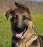Puppy shepherd. Beautiful purebred puppy german shepherd: playing young dog Stock Photography