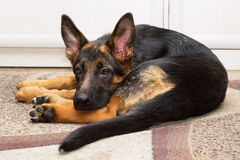 Puppy of a shepherd dog. Funny young puppy of a shepherd dog lying on a carpet twisted into a ball Stock Photos