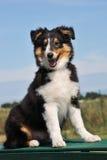 Puppy Shetland stock fotografie