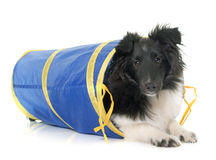 Puppy shetland sheepdog in agility Stock Photo