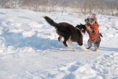 Puppy Shetland Sheepdog in the snow Stock Photos