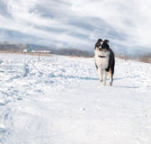 Puppy Shetland Sheepdog in the snow Royalty Free Stock Photo