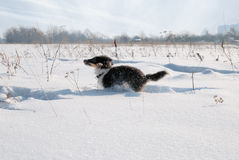 Puppy Shetland Sheepdog in the snow Royalty Free Stock Image