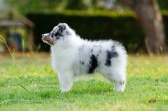 Puppy Shetland Sheepdog. Stock Photos