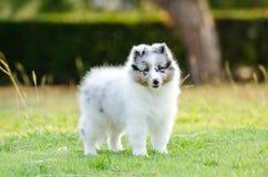 Puppy Shetland Sheepdog. Shetland Sheepdog puppy standing on grass field Stock Photography