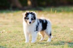 Puppy Shetland Sheepdog. Royalty Free Stock Images