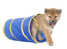 Puppy shiba inu Stock Photography