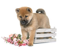 Puppy shiba inu Royalty Free Stock Photos
