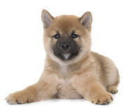 Puppy shiba inu. In front of white background Royalty Free Stock Photo