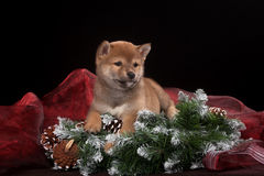 Puppy Shiba Inu in the Studio Stock Photos