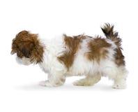 Puppy shih-Tzu Stock Afbeelding