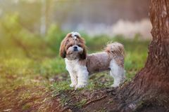 Puppy shih tzu dog cute pet posing for a walk. The sun`s rays fall on the dog. Puppy shih tzu dog cute pet posing for a walk. Early morning. The sun`s rays fall royalty free stock photo