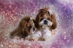 Puppy shih tzu dog cute pets sitting on sofa furniture royalty free stock image