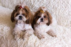 Puppy shih tzu dog cute pets sitting on white sofa furniture royalty free stock photos