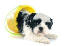 Puppy shih tzu Stock Photo