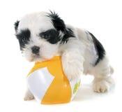 Puppy shih tzu Stock Image
