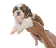 Puppy shih tzu Stock Photo