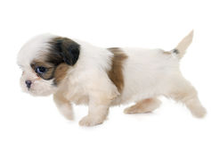 Puppy shih tzu Stock Photos
