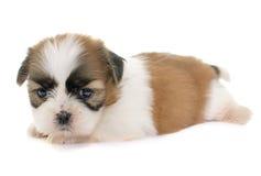 Puppy shih tzu Stock Images