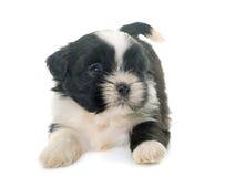 Puppy shih tzu Stock Photos