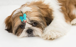 Puppy Shih Tzu Stock Images