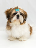 Puppy Shih Tzu Royalty Free Stock Images