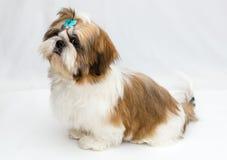 Puppy Shih Tzu Royalty Free Stock Image