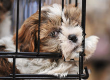 Puppy shihtzu in cage Royalty Free Stock Images