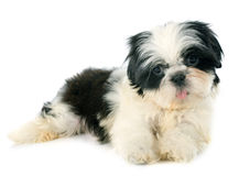 Puppy shitzu Royalty Free Stock Images