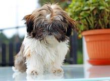 Puppy shitzu Stock Images
